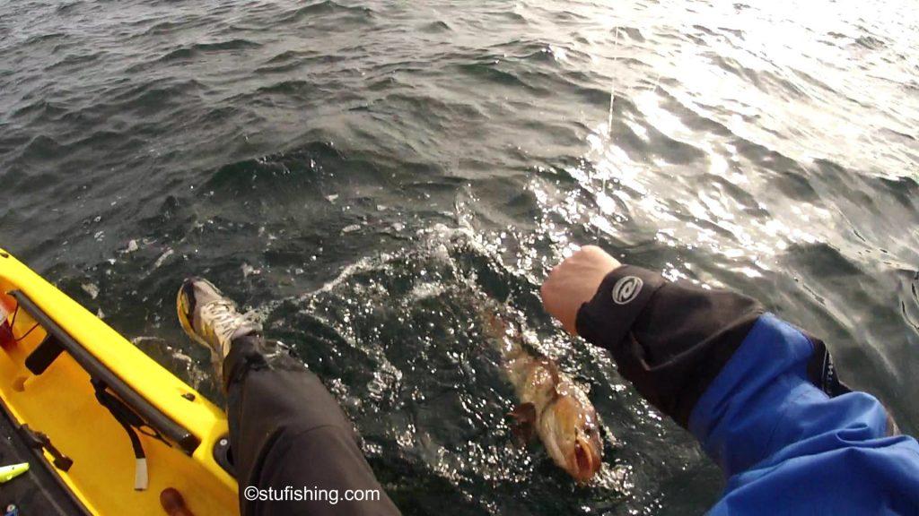 St Abbs Kayak Fishing Codling