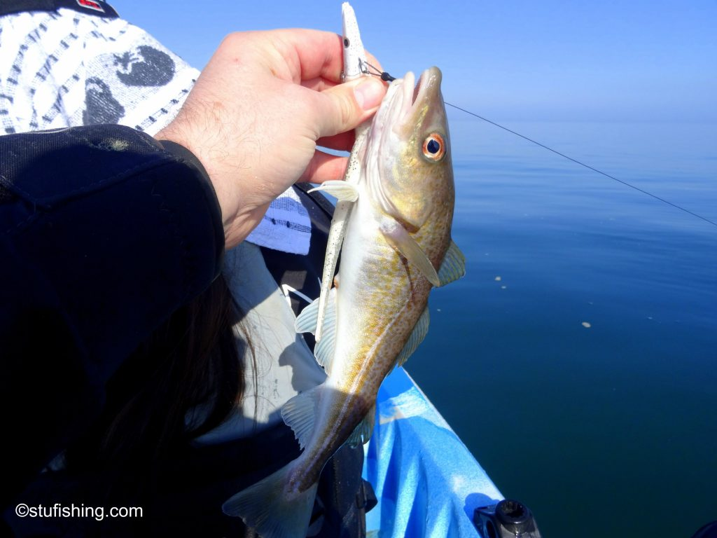 Kayak Fishing Redcar another cod